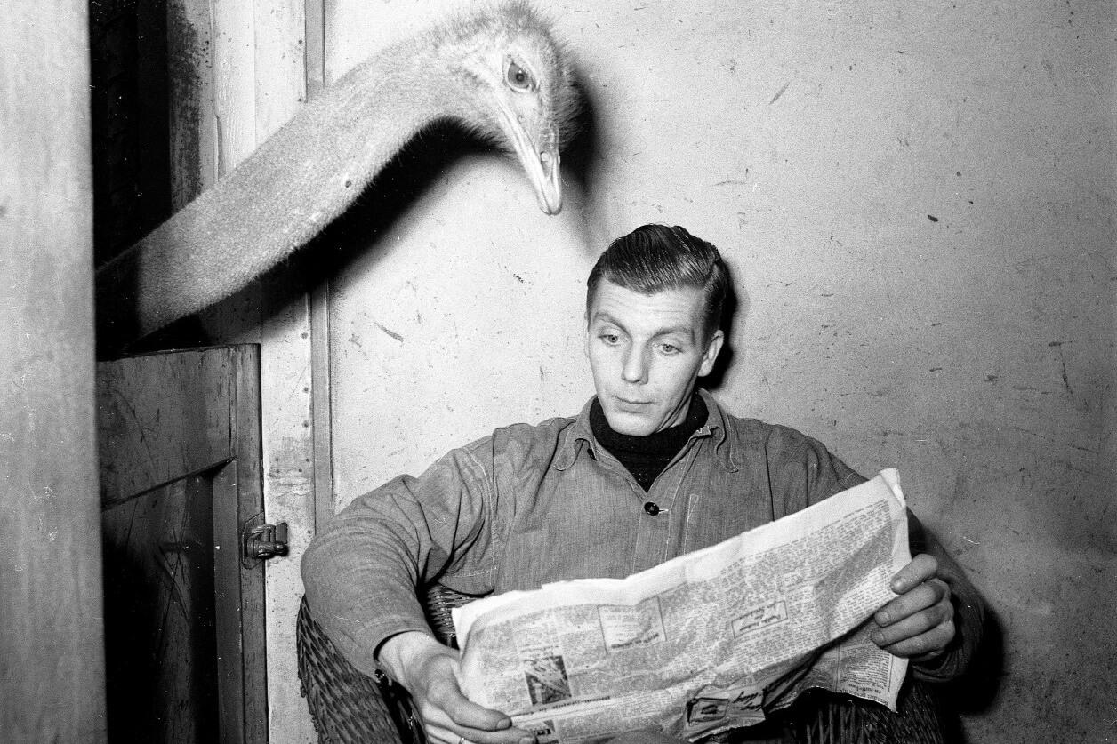 Ein Mann liest Zeitung, während ihm ein Vogel Strauß von hinten über die Schulter guckt